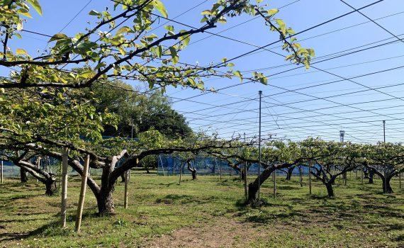 春には園内の梨の花が満開になり、綺麗ですよ。